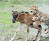 Tanzanya'da bir antilop doğduğu gibi yem oldu