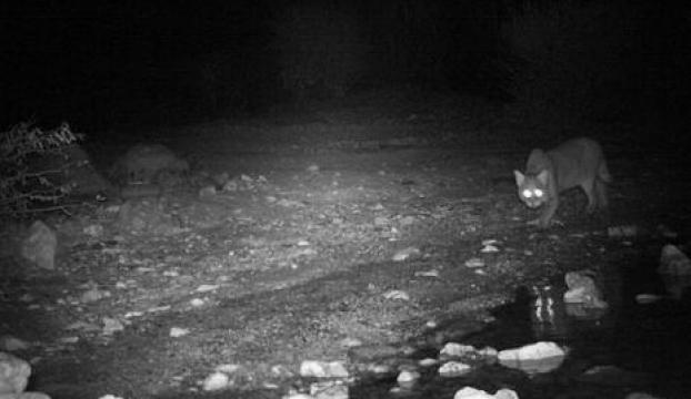 Ispartada saz kedisi görüntülendi