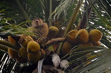 Maymunlar hindistan cevizi işine girdi