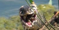 Saniyeler içinde kurbağayı mideye indirdi